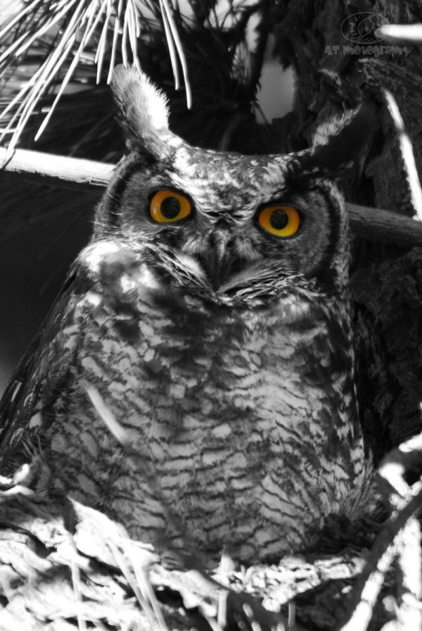 Owls_2_November_2011_051_E1_CRP_BW_EYES_C copy